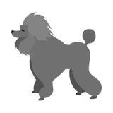 Cão de caniche liso Fotos de Stock Royalty Free