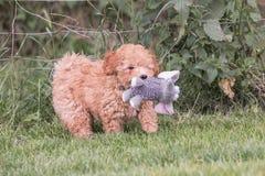 Cão de caniche novo em Bélgica fotografia de stock