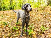 Cão de caniche que está na floresta do outono fotos de stock