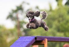 Cão de caniche que faz o dogwalk da agilidade Fotografia de Stock Royalty Free