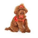 Cão de caniche que veste o chicote de fios extravagante Fotografia de Stock Royalty Free