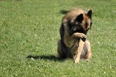 Cão de carneiros belga Fotos de Stock