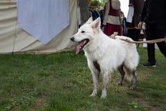 Cão de carneiros brancos Fotos de Stock