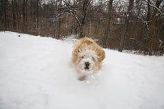 Cão de carregamento Imagens de Stock Royalty Free
