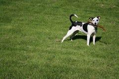Cão de Central Park Fotografia de Stock