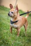 Cão de Chiguagua Fotografia de Stock Royalty Free