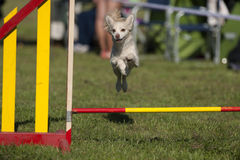Cão de Chiuaua que salta sobre o obstáculo no curso da agilidade Fotos de Stock