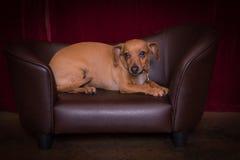 Cão de Chiweenie imagem de stock