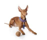 Cão de Cirneco Etna Fotografia de Stock Royalty Free
