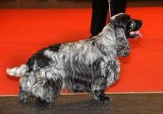 Cão de cocker spaniel fotografia de stock