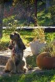 Cão de cocker spaniel do inglês fotografia de stock royalty free