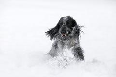Cão de cocker spaniel do inglês que joga no inverno da neve Fotografia de Stock Royalty Free