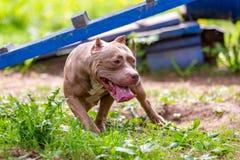 Cão de combate no parque para uma caminhada, Bull imagens de stock royalty free