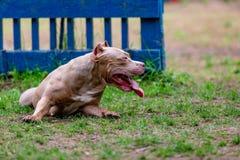 Cão de combate no parque para uma caminhada, Bull foto de stock royalty free
