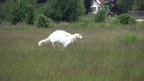 Cão de corrida branco running vídeos de arquivo