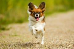 Cão de corrida de Papillon Fotografia de Stock Royalty Free