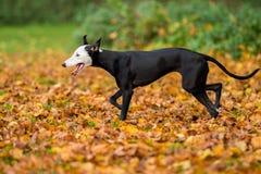 Cão de corrida de passeio Foto de Stock Royalty Free