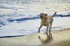 Cão de corrida do perdigueiro nas ondas Opinião do por do sol da praia no Sao Pedro Estoril, Portugal - imagem imagem de stock royalty free