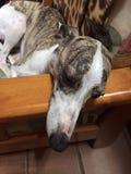 Cão de corrida que encontra-se na cadeira Foto de Stock Royalty Free