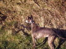 Cão de corrida rajado Imagem de Stock Royalty Free
