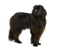 Cão de Croosbreed Fotos de Stock