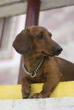 Cão de Dackel que encontra-se para baixo Foto de Stock Royalty Free