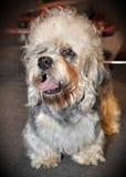 Cão de Dandie Dinmont Terrier Imagens de Stock