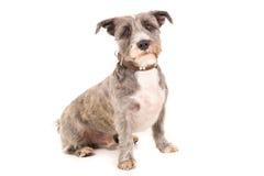 Cão de Danidie Dinmount Fotografia de Stock Royalty Free