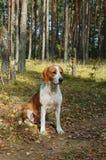 Cão de descanso Imagem de Stock Royalty Free