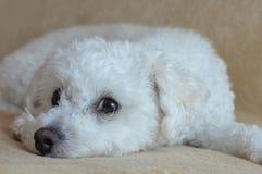 Cão de descanso Imagens de Stock Royalty Free