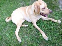 Cão de descanso Fotografia de Stock