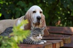 Cão de cão do Basset e gatinho que descansam junto Foto de Stock Royalty Free