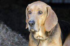 Cão de cão do preto e da Tan Coonhound no celeiro do feno Foto de Stock