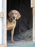 Cão de cão do preto e da Tan Coonhound no celeiro do feno Imagem de Stock