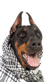 Cão de Dobermann no kufiya preto Foto de Stock Royalty Free