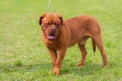 Cão de Doggue de Bordéus no parque Foto de Stock