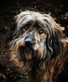 Cão de Dogshelter Fotos de Stock Royalty Free