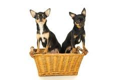 Cão de duas chihuahuas que senta-se em uma cesta foto de stock