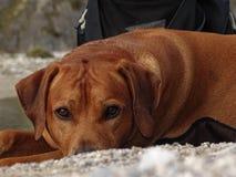 Cão de encontro Fotografia de Stock Royalty Free