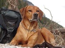 Cão de encontro Fotografia de Stock