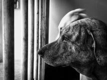 Cão de espera Imagens de Stock Royalty Free