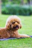 Cão de estimação Foto de Stock Royalty Free