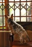 Cão de estimação em uma contrariedade fotos de stock royalty free