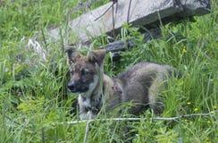 Cão de estimação na erva Foto de Stock
