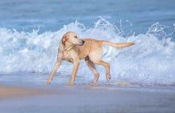 Cão de estimação que joga na praia da areia fotos de stock