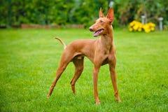 Cão de Etna do dell de Cirneco Fotos de Stock Royalty Free