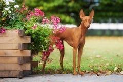 Cão de Etna do dell de Cirneco fora imagens de stock