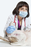 Cão de exame veterinário fêmea sobre o fundo cinzento Fotografia de Stock Royalty Free