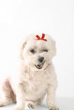 Cão de fala?? Imagens de Stock