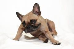 Cão de Fawn French Bulldog com as alergias da pele que riscam na frente do fundo branco fotografia de stock royalty free